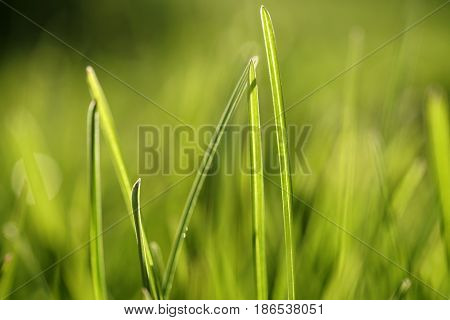 Spring background with green grass. Blurred green bokeh background. Grass in the sun. Close-up. Nature.