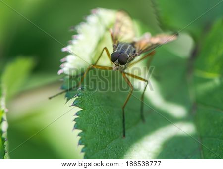 Snipe fly (Rhagio scolopaceus). Large compound eyes and slender orange legs of true fly in the family Rhagionidae