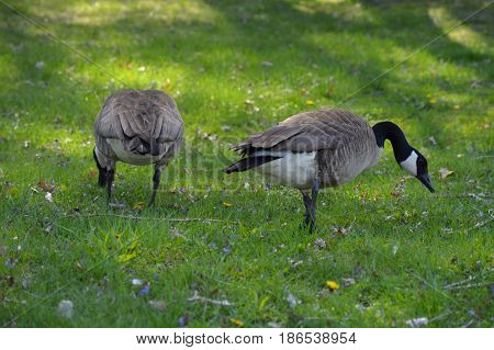 Geese in the green grass during spring