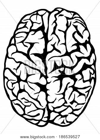 Hand drawn human brain - top view. Vector illustration isolated on white