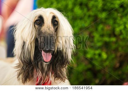 Close-up Headshot of Afghan Hound fawn Dog Amazement Staring front view