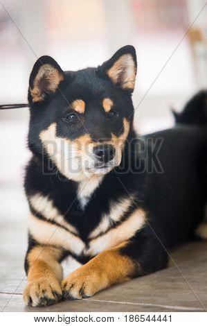 Portrait of an Entlebucher Sennenhund. Dog portrait