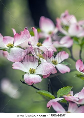 Cornus is a genus of woody plants in the family Cornaceae commonly known as dogwoods