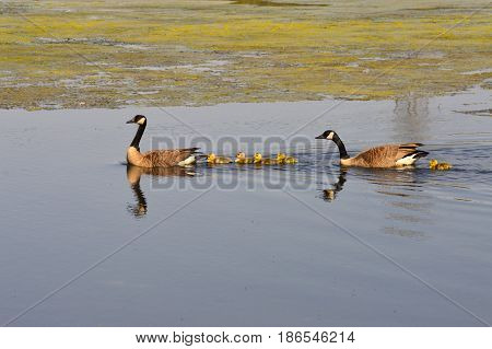 A family of geese at the lake
