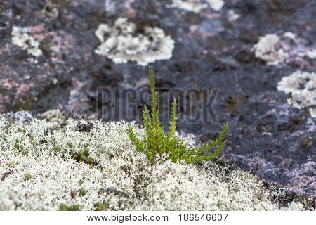 Green heather flowers growing among white reindeer lichen