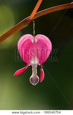 One Bleeding Heart Blossom