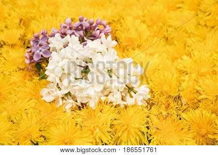 Two branches of white and purple blossoming lilac on yellow dandelions