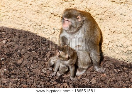Monkey with a cub. The monkey sits with a cub at a stone light wall. The cub has nestled on mother and looks at someone abroad a shot
