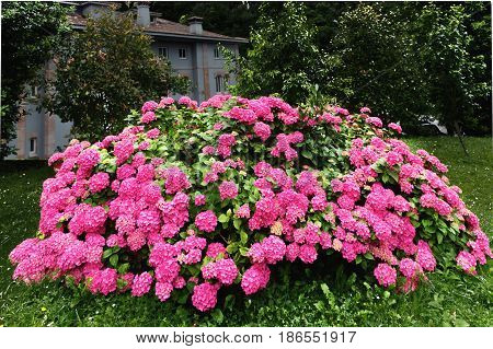 Big bush of a pink hydrangea in a garden. The bright pink blossoming hydrangea bush against the background of a garden and the blue building