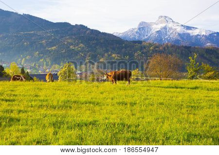 The cows on Austrian Alp, Salzburger Land, Austria