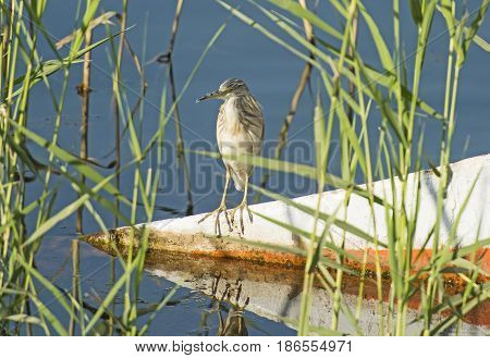 Squacco Heron Perched On A Wooden Boat