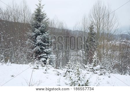 Winter near Mavrovo lake in Macedonian republic, fir trees