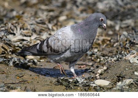 A young fledgling feral pigeon in mud