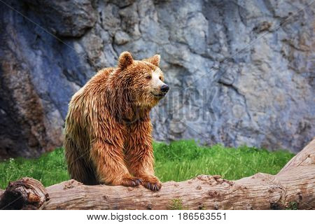 Grizzly bear on a log in the wild