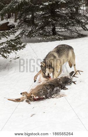 Grey Wolf (Canis lupus) Pulls at Leg of Deer Carcass - captive animal