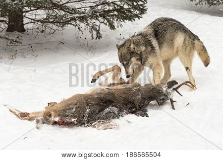 Grey Wolf (Canis lupus) Stands Defiant Over Deer Carcass - captive animal