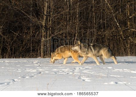 Pair of Grey Wolves (Canis lupus) Move Left Across Field