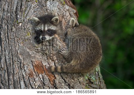 Young Raccoons (Procyon lotor) Try to Fit in Knothole - captive animals
