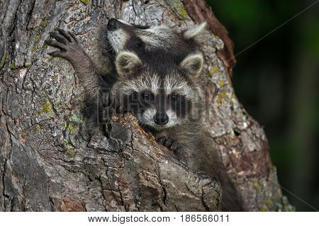 Young Raccoons (Procyon lotor) Squeezed in Knothole - captive animals