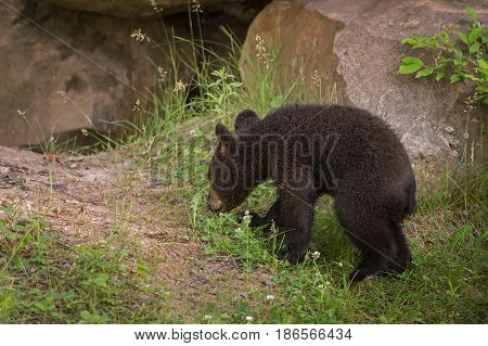 Black Bear Cub (Ursus americanus) Walks Near Den - captive animal