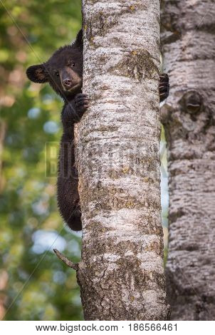 Black Bear (Ursus americanus) Cub Peers Around Trunk - captive animal
