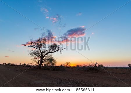 Colorful sunset in the african bush. Acacia trees silhouette in backlight. Kruger National Park famous travel destination in South Africa.