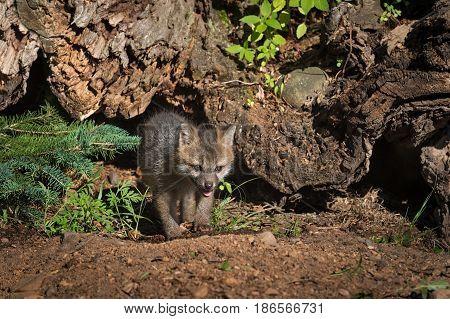 Grey Fox Kit (Urocyon cinereoargenteus) Walks Out From Beneath Log - captive animal
