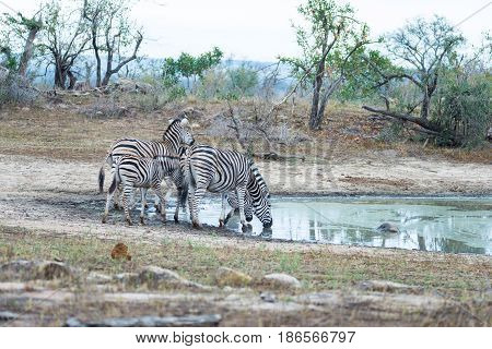 Herd Of Zebras Drinking From Waterhole In The Bush. Wildlife Safari In The Kruger National Park, Maj