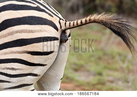 Zebra Lifting His Tail For A Dung