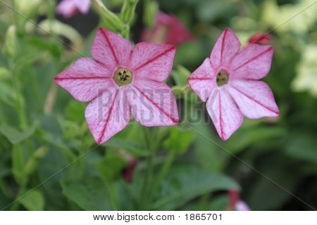 Tobacco Flowers