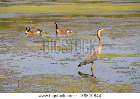 A great blue heron and geese at the lake