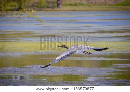 A great blue heron flying over the water