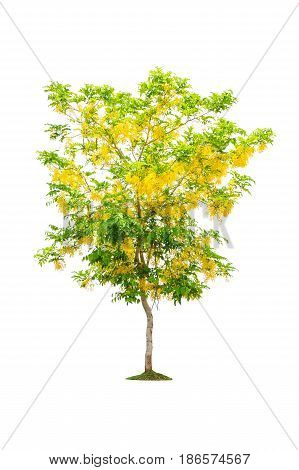 Golden shower tree isolated on white background.