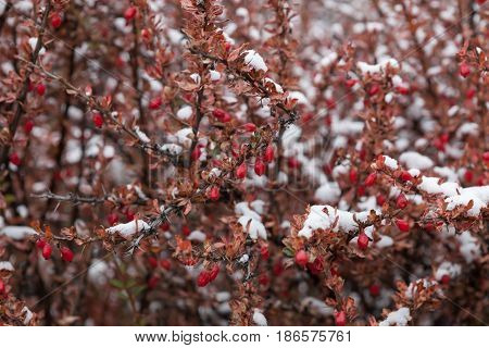 Closeup Of A Ripe Red Himalayan Barberry Berries On A Shrub. Barberry Shrub Covered With Snow. Barbe