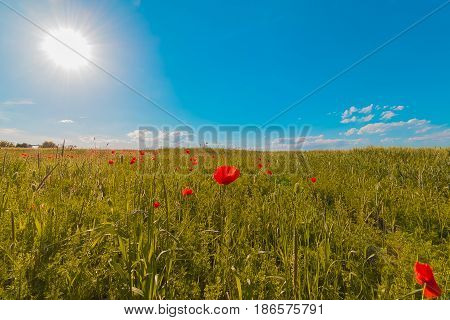 Flowers Meadow Of Red Poppies Field In Windy Day Under Blue Sky, Rural Background