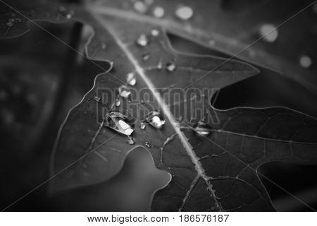 papaya leaf raindrop black and white closeup
