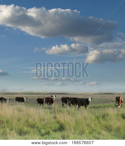 Cows grazing in a pasture on a cloudy morning
