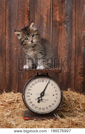 Cute Adorable Kitten on Antique Vintage Scale
