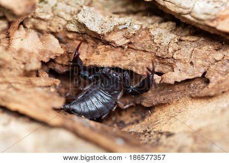 A black Euscorpius italicus scorpion a common scorpion in the Mediterranean region.