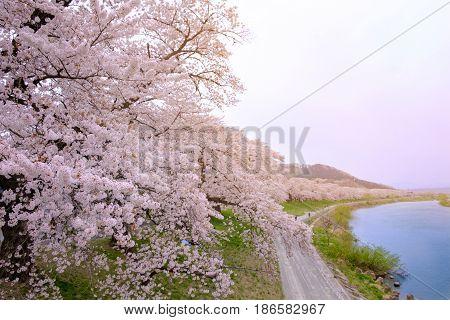 Beautiful Pink Cherry Blossom (sakura) Flower At Funaoka Sendai Japan