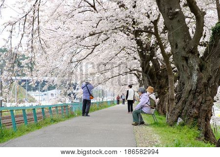 Sendai, Japan - 17 April 2017: Tourists Walking Along Shiroishi Riverside Under Sakura Branches To C