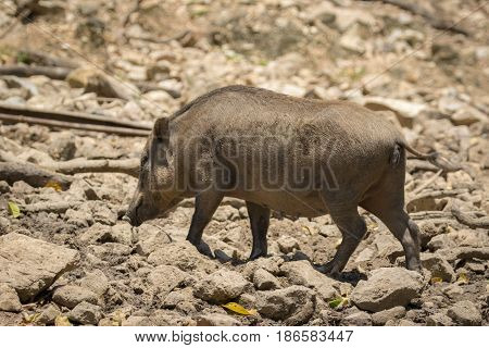 Image of boar on natural background. Wild Animals.