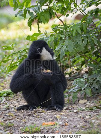 Image of black gibbon (White-Cheeked Gibbon) eating food on nature background. Wild Animals.