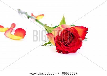 Beautiful lay down yellow-red rose on white background