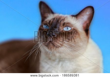 Siamese cat or seal brown cat with grey eyes selective focus.