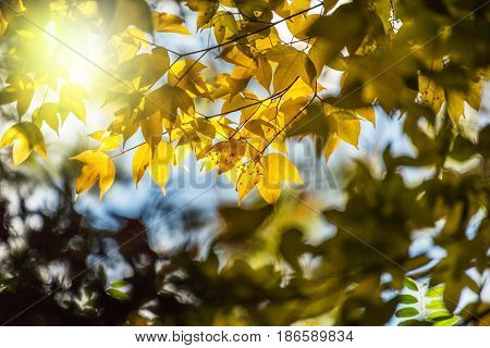 Soft Focus Yellow Maple Leaf On Background