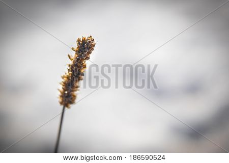 knobble little blade of grass close up on a light background
