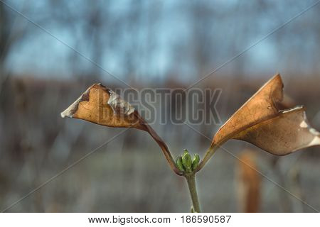 first small buds on a branch in the spring and two old leaf in the shape of wings
