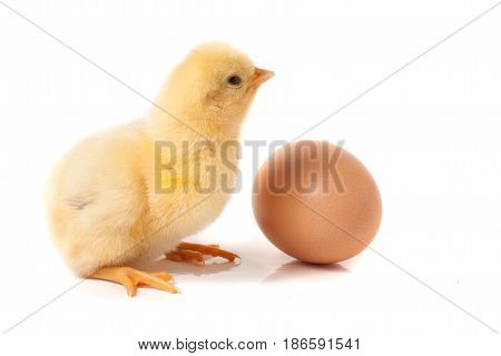 Cute little chicken with egg isolated on white background.