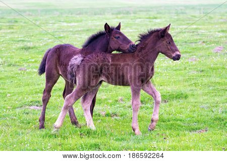 Two brown foals are playing on the floral meadow